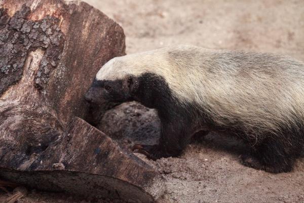honey badger mellivora capensis is known