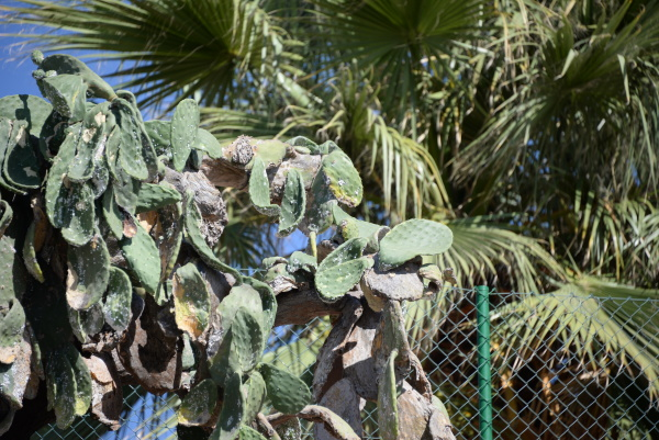 prickly cactus on the costa blanca