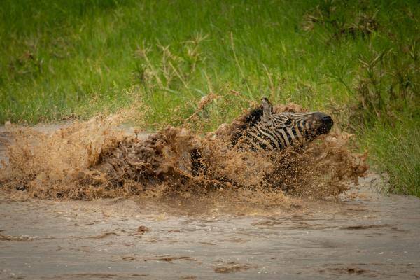 plains zebra struggles towards riverbank in
