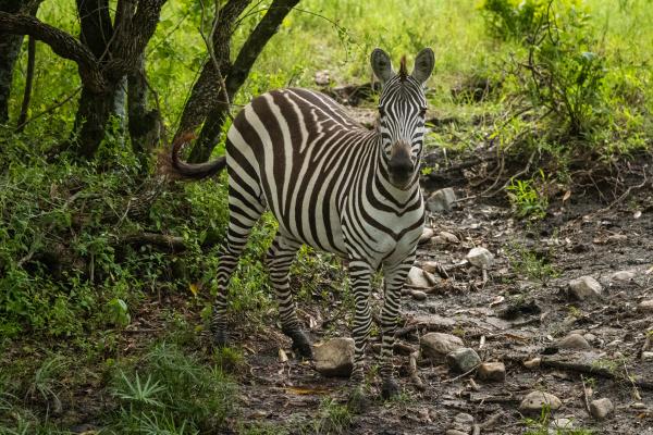 plains zebra stands facing camera in