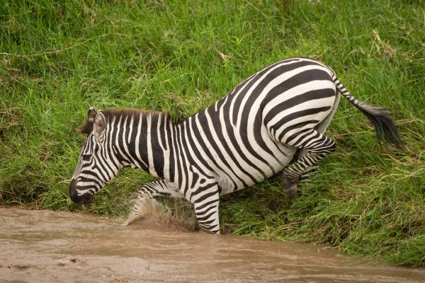 plains zebra steps into river from