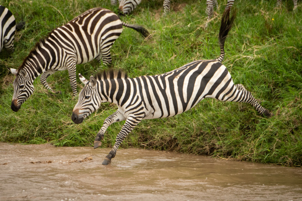 plains zebra jumps into river from