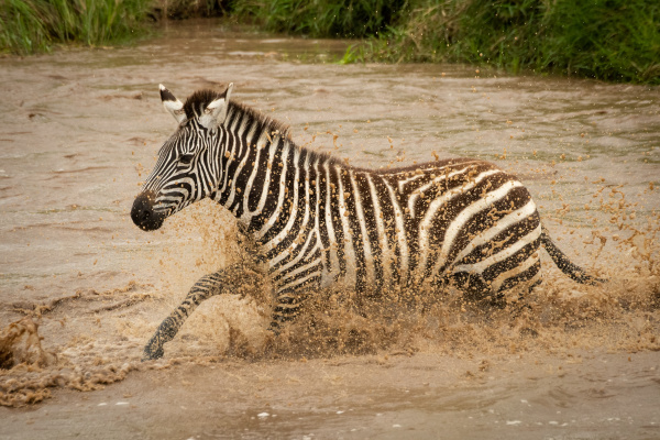 plains zebra gallops across river in