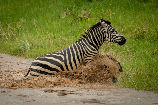 plains zebra jumps from river onto
