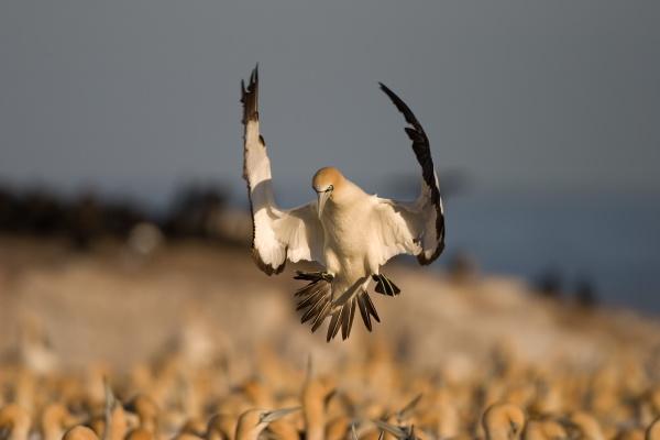cape gannet morus capensis bird island