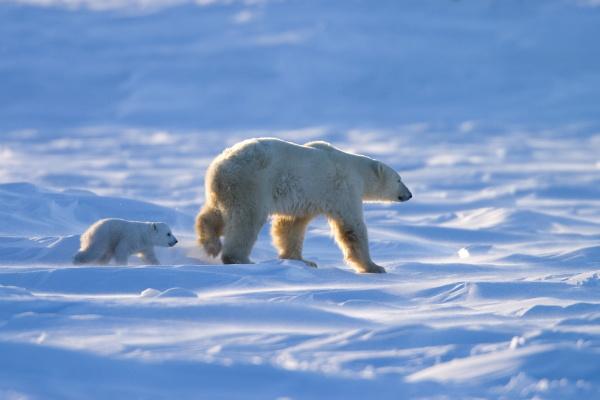polar bear with a cub ursus
