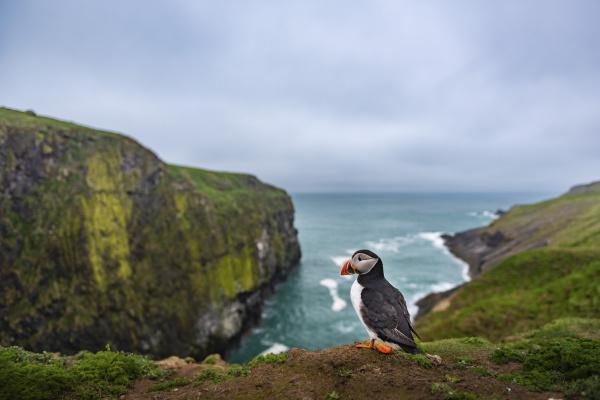 puffin at the wick skomer island
