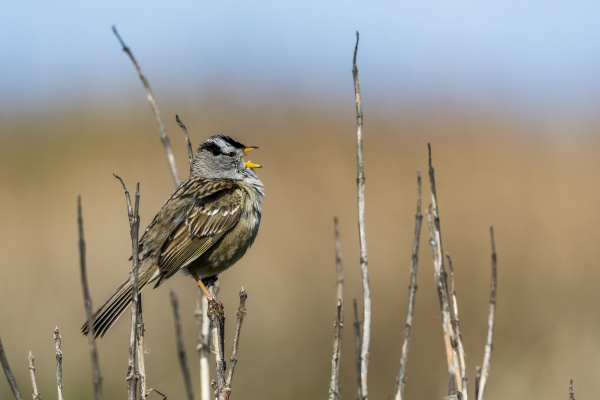 a white crowned sparrow zonotrichia leucophrys