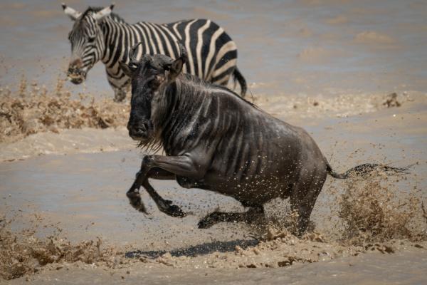 blue wildebeest gallops past zebra in