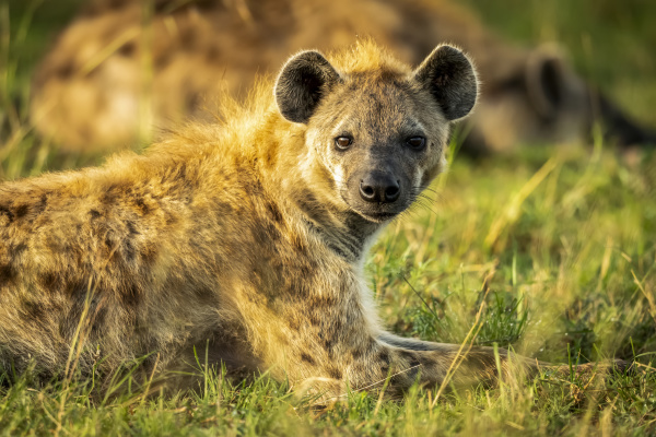 close up of spotted hyena