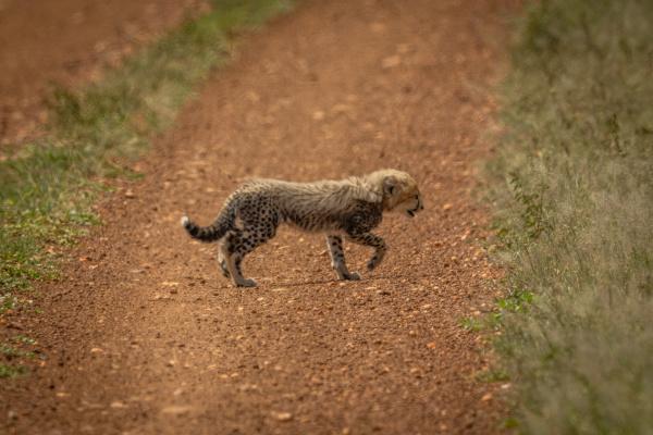 cheetah cub crosses dirt track in