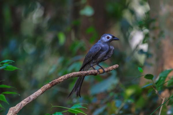 beautiful ashy drongo dicrurus leucophaeus
