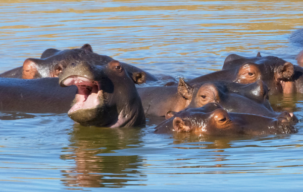 hippos in the river mkhaya game