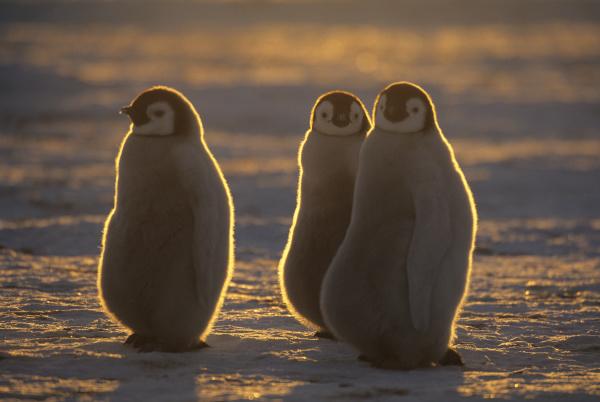 emperor penguins aptenodytes forsteri chicks at