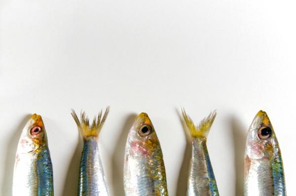 fresh anchovies engraulis encrasicolus on white