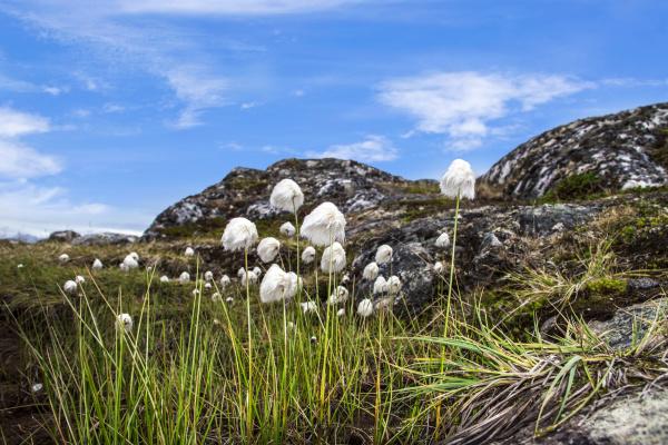 greenland qeqertarsuaq cottongrass