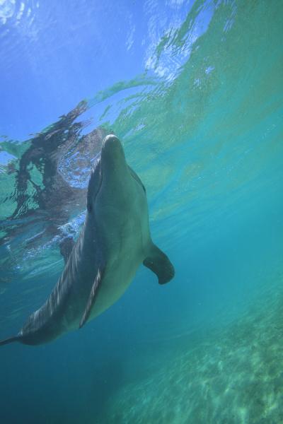 underwater view of bottlenose dolphin tursiops