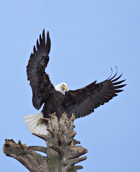 bald eagle haliaeetus leucocephalus with wings
