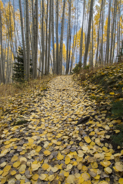a forest trail of fall aspen