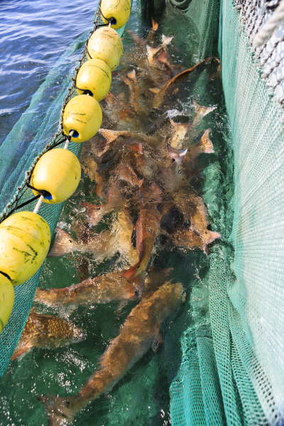 large red drum await scientists who