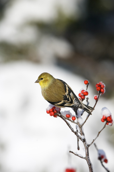 american goldfinch carduelis tristis in common