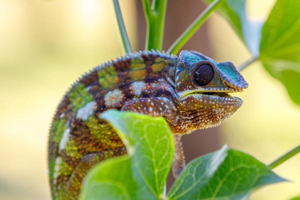 panther chameleon masoala madagascar wildlife