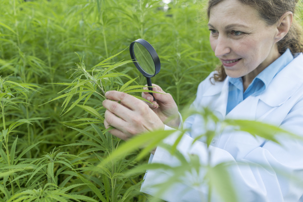 scientist with magnifying glass examining hemp