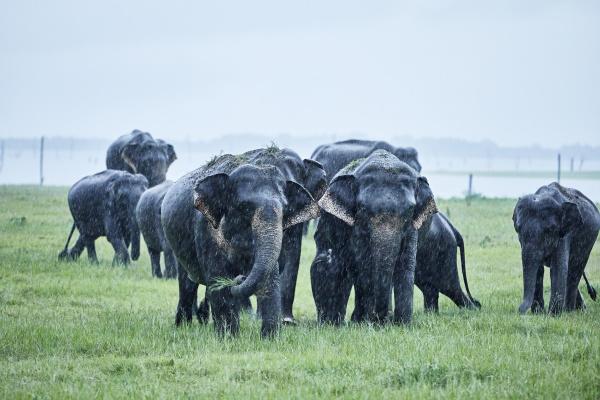 asian elephants grazing at kaudulla national