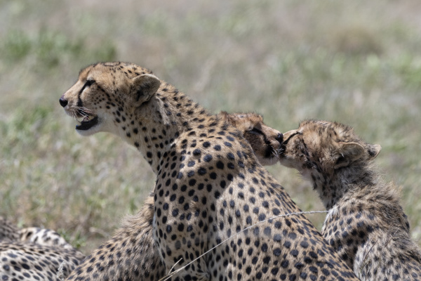 a female cheetah acybonix jubatus with