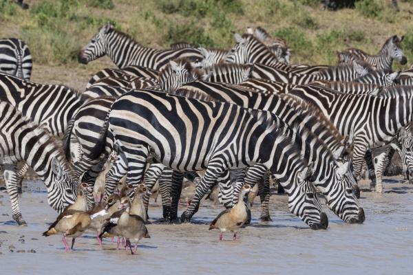 plains zebras equus quagga ndutu serengeti
