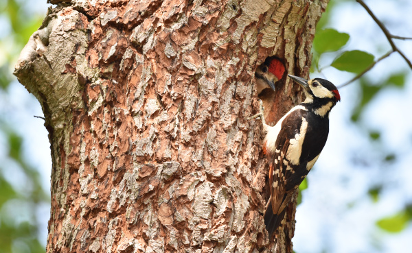 great spotted woodpecker has offspring