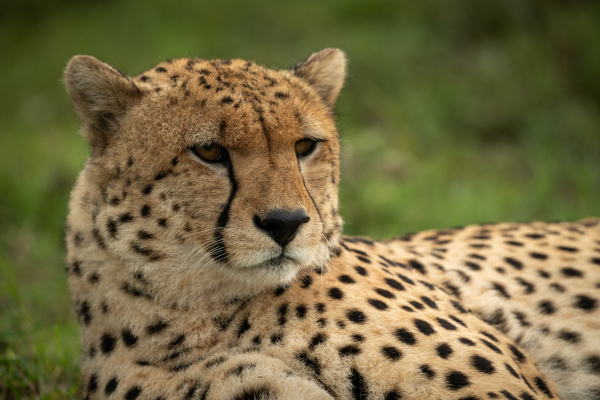 close up of male cheetah lying