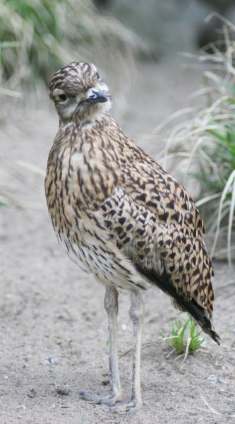 cape triel burhinus capensis