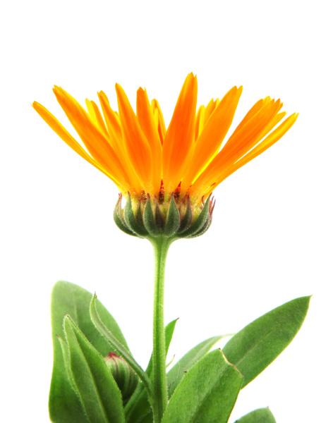 beautiful blossoming yellow marigold on white