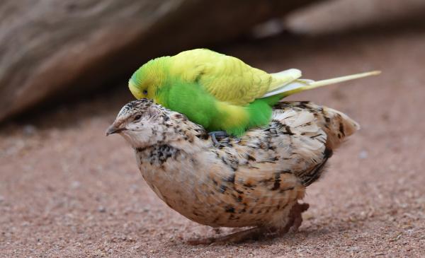 budgerigar rides a quail