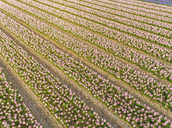 aerial view of rows of tulips