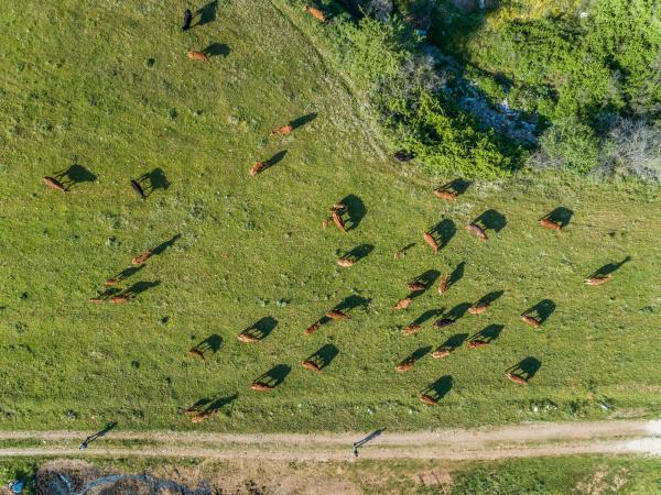 aerial view of people leading herd