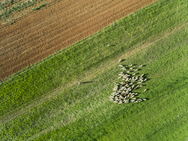aerial view of a shepherd and