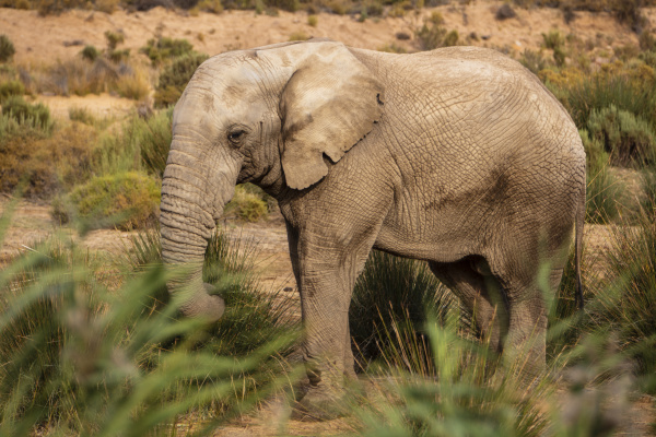 elephant grazing in nature reserve touws