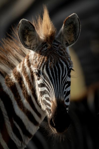 close up of plains zebra foal