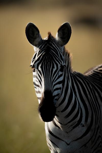 close up of plains zebra standing