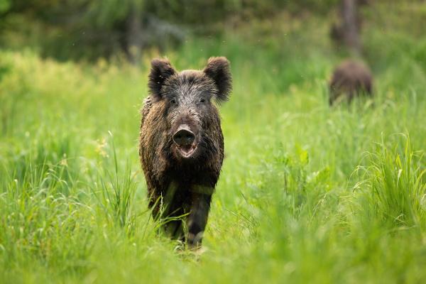 threatening wild boar standing on a