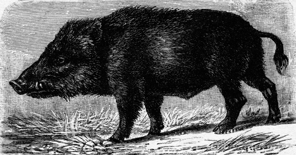 boar vintage engraving