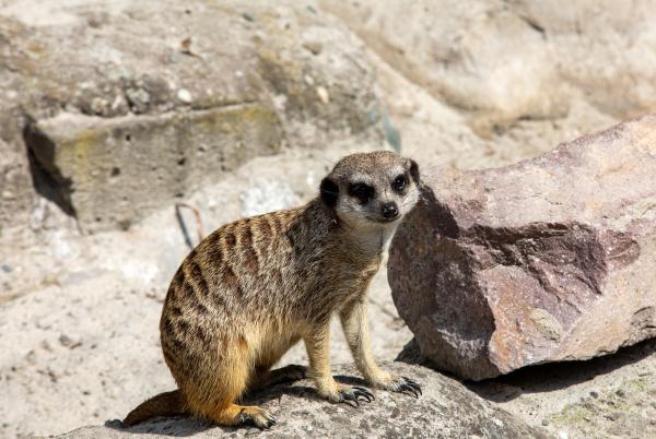 suricata suricatta know as meerkat basks