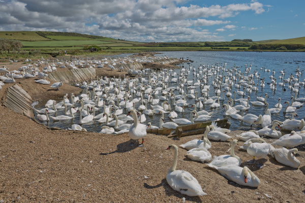 flock of swans during feeding time