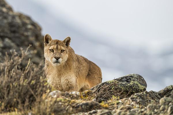 puma standing in the landscape in
