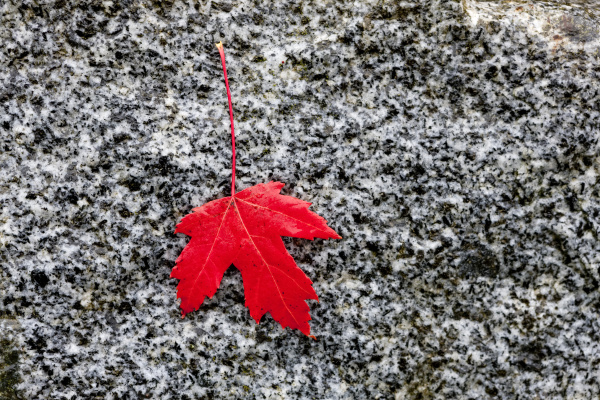 red maple leaf laying on a
