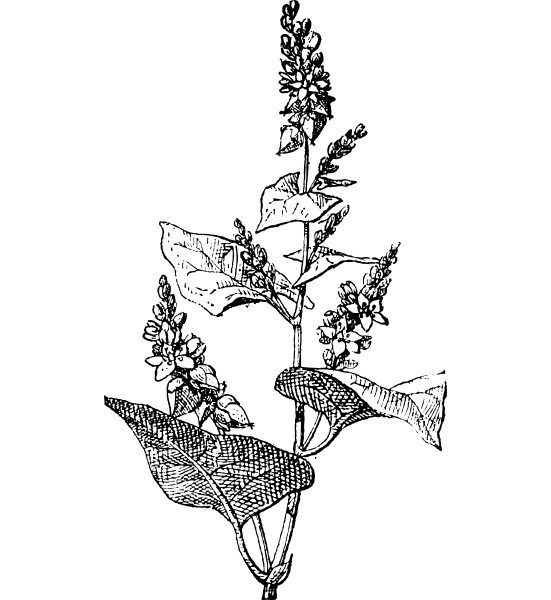 knotweed or polygonum vintage engraving