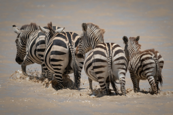four plains zebra cross shallow muddy