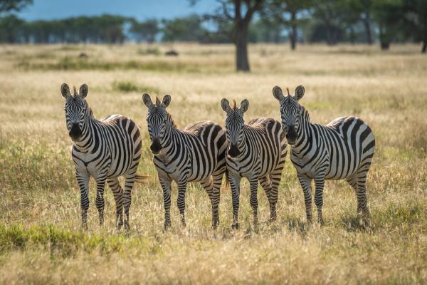 four plains zebra stand staring towards